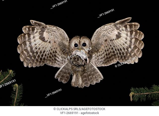 Tawny owl in night, Trentino Alto-Adige, Italy