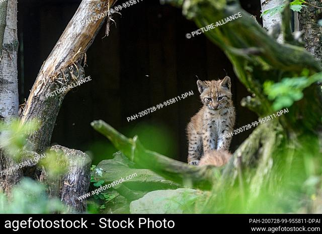 28 July 2020, Saxony-Anhalt, Magdeburg: A small lynx from the Carpathian Mountains can be found in the lynx enclosure of Magdeburg Zoo