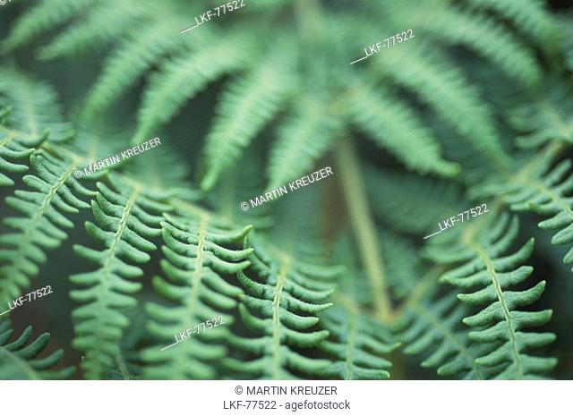 Close up of green fern leaves, Sark, Channel Islands, Great Britain