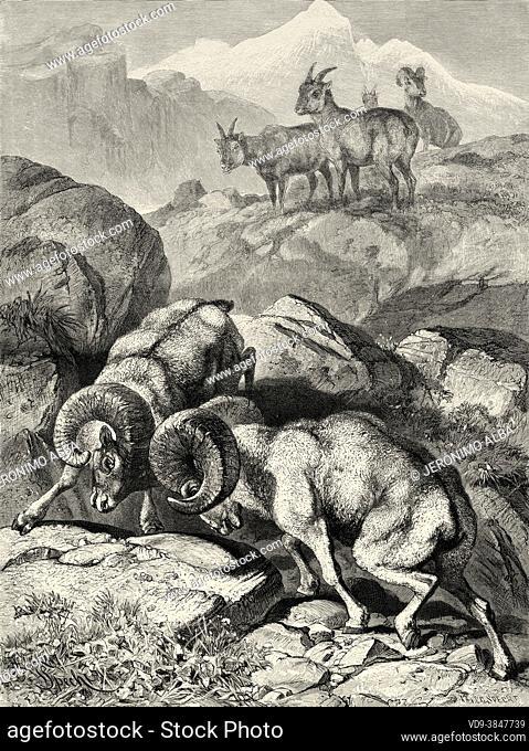 Peninsular Desert Bighorn sheep (Ovis canadensis cremnobates) Anza-Borrego Desert State Park, California. United States. Old 19th century engraved illustration...