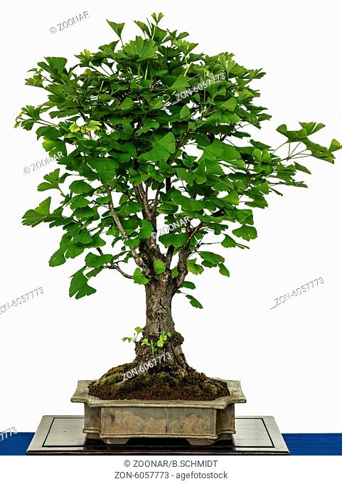 Ginkgo as bonsai tree