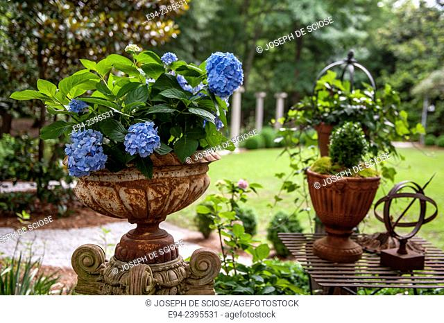 A flowering hydrangea in a container in a garden with garden decorations.Georgia USA