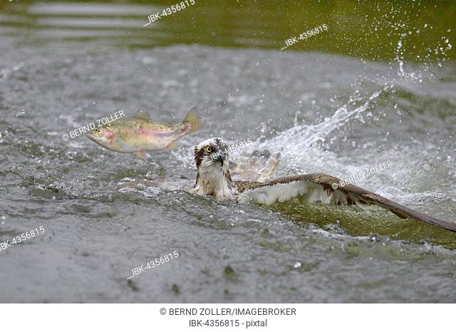 Osprey (Pandion haliaetus), lying on water unsuccessful hunt for a rainbow trout (Oncorhynchus mykiss), fish jumping over eagle, Tampere, Western Finland
