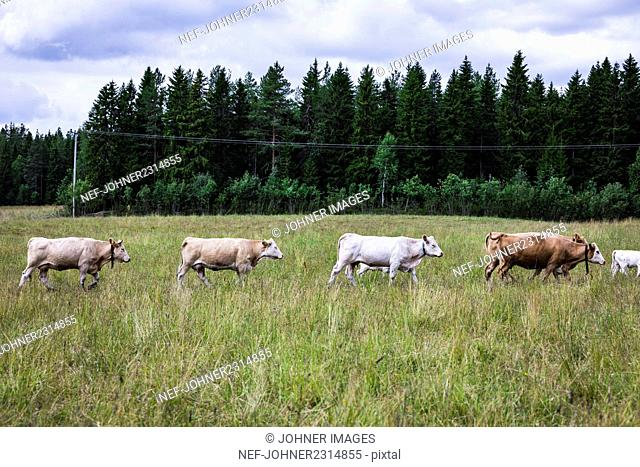 Cattle on meadow