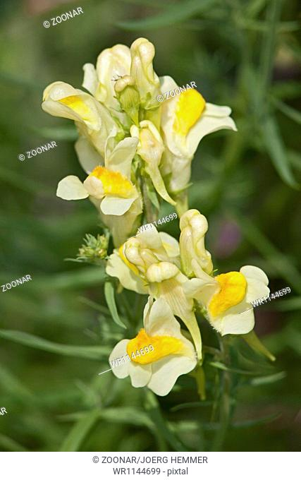 Linaria vulgaris, Butter-and-eggs