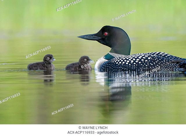 Adult common loon (Gavia immer) and chick(s), central Alberta, Canada