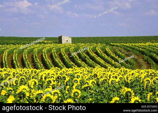 Sunflowers. Spain