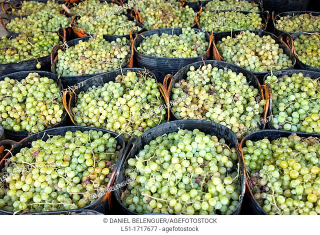 Moscatel grapes in baskets before drying, Lliber, Alicante, Spain