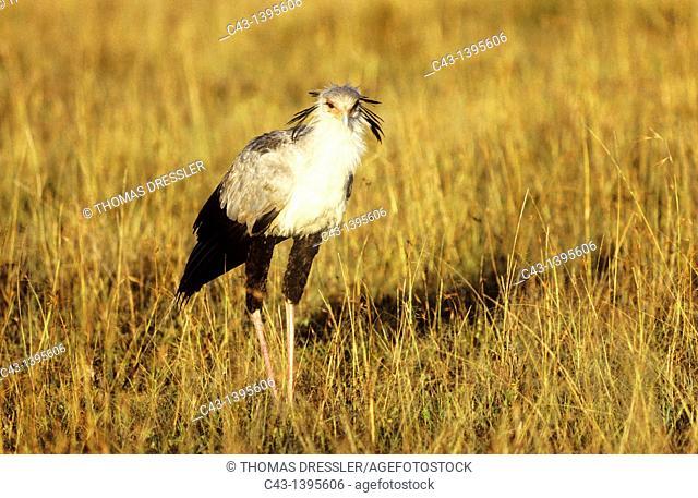 Secretary Bird Sagittarius serpentarius - Hunting in the evening  Masai Mara National Reserve, Kenya