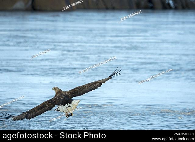 A white-tailed eagle (Haliaeetus albicilla) is fishing in the Trollfjord on Austvag Island in the Lofoten Islands, Nordland County, Norway