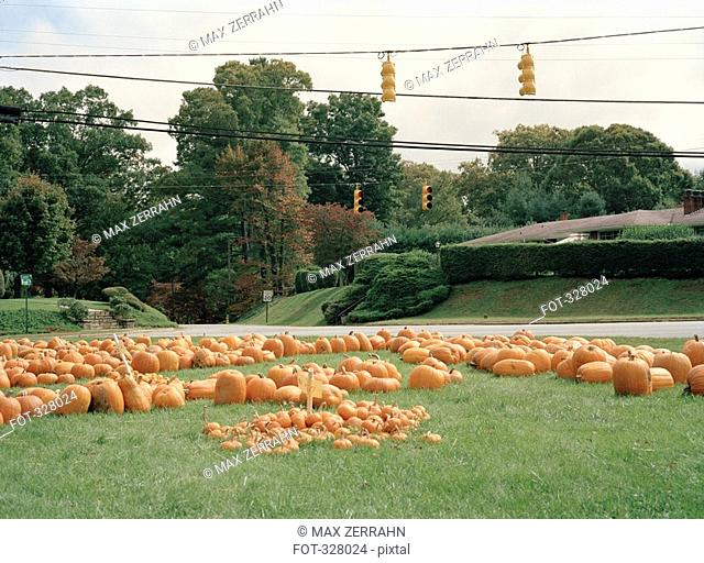 Pumpkins on the grass by the roadside