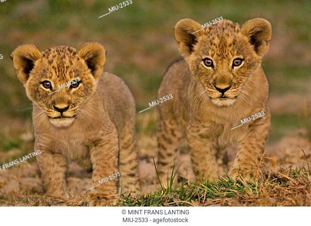 Lion cubs, Panthera leo, Luangwa Valley, Zambia