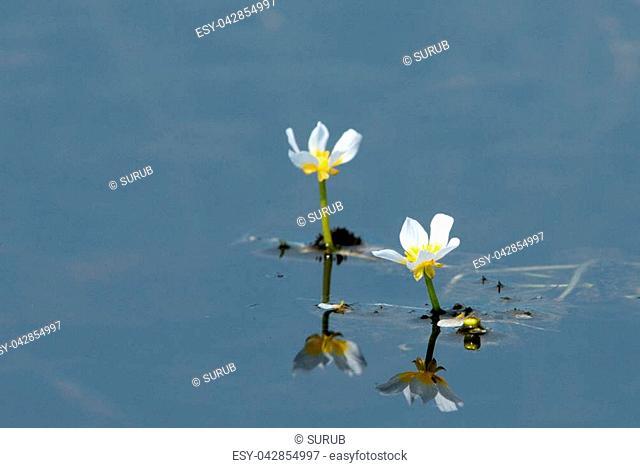 White Water Crowfoot (Ranunculus fluitans) floating on water in Summer
