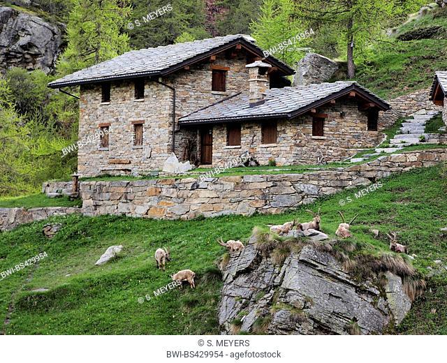 Alpine ibex (Capra ibex, Capra ibex ibex), herd in front of mountain hut, Italy, Gran Paradiso National Park, Ceserole reale