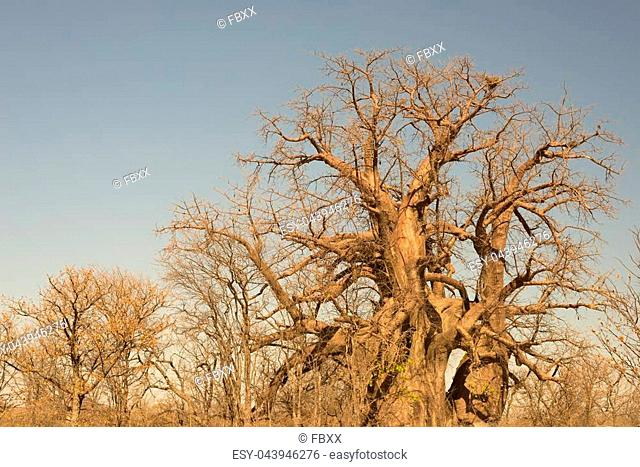 Baobab plant in the african savannah with clear blue sky. Botswana, one of the most attractive travel destination in Africa