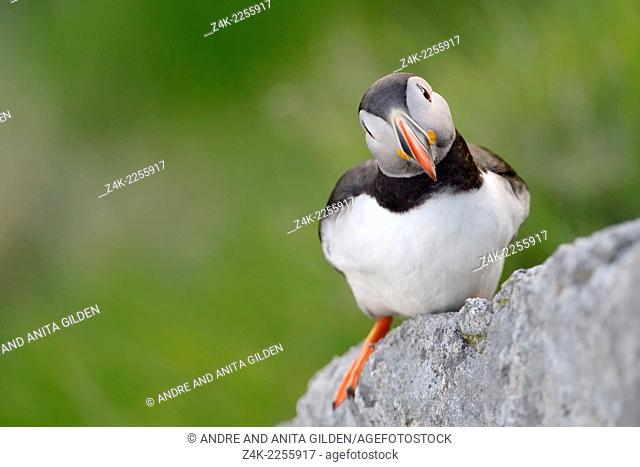 Atlantic Puffin (Fratercula arctica) standing on rock at a cliff, Runde, Norway