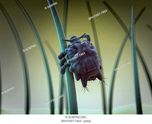 Pubic louse, computer artwork