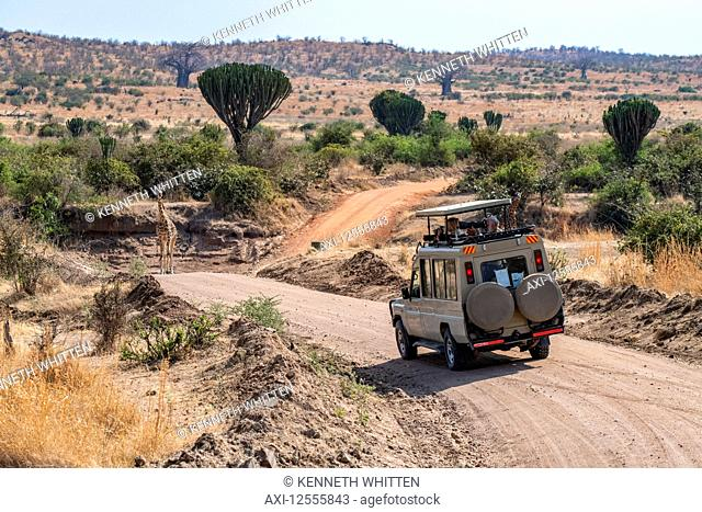 Safari vehicle with photographers approaches a Maasai Giraffe (Giraffa camelopardalis) standing in road with Candelabra trees (Euphorbia candelabrum) and Baobab...