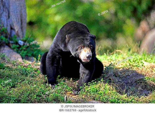 Sun Bear (Helarctos malayanus), female adult, Asian