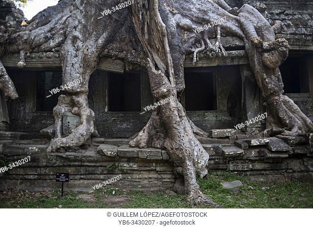 Bayan tree roots growing on the Preah Khan temple walls, Angkor Wat, Siem Reap, Cambodia