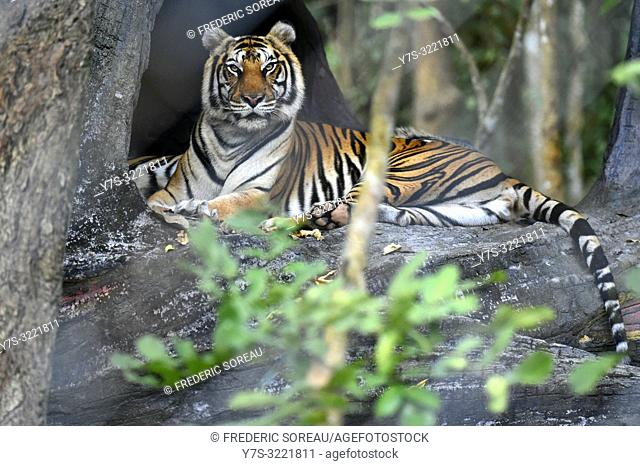 Indochinese tiger at Phnom Tamao Wildlife Rescue Center,Kandal Province,Cambodia,South east Asia