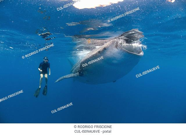 Underwater view of snorkeler watching whale shark feeding, Isla Mujeres, Quintana Roo, Mexico