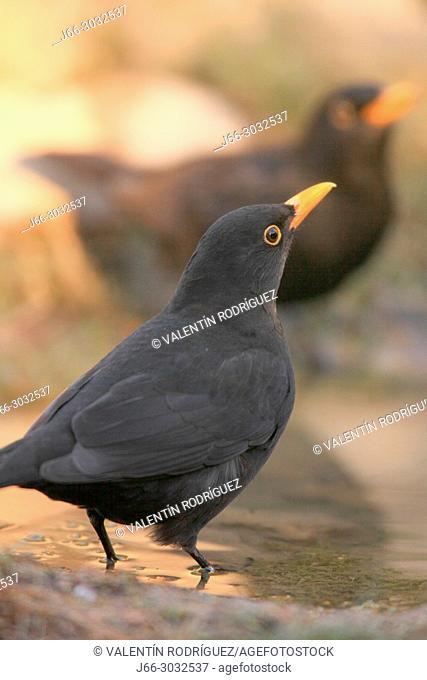 Blackbird (Turdus merula) male in the Los Serranos region. Valencia