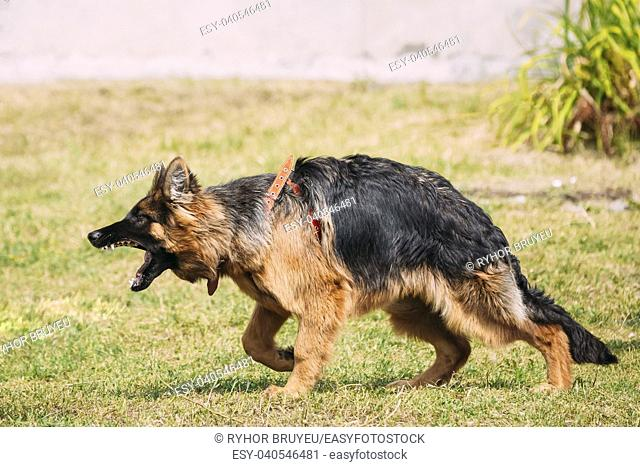 Anger Aggressive Long-Haired Purebred German Shepherd Adult Dog Or Alsatian Wolf Dog On Lead Going To Attack With Widely Opened Mouth Jaws
