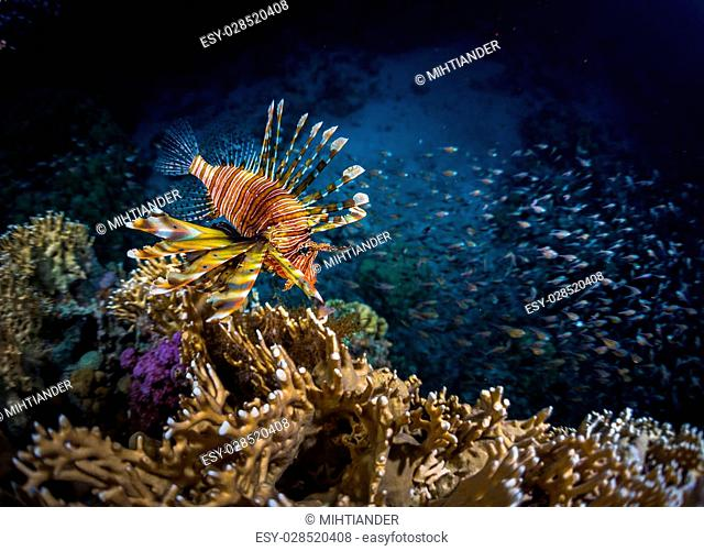 Lion fish and school of bait fish swimming near the coral reef