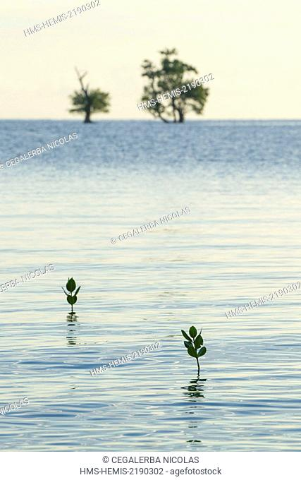 Indonesia, Lesser Sunda Islands, Alor Island, Deere Beach, young mangrove trees growing in the middle of the water