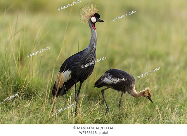 Crown Crane adult with chick. Masai Mara National Reserve, Kenya
