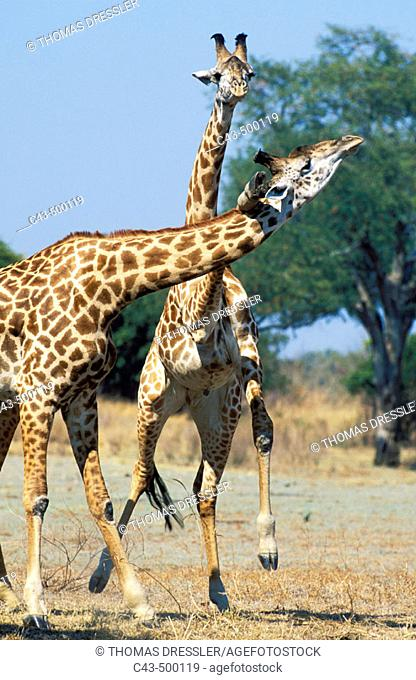 Thornicroft's Giraffe (Giraffa camelopardalis thornicrofti); This endemic subspecies of the Luangwa area is geographically isolated from any other giraffe...