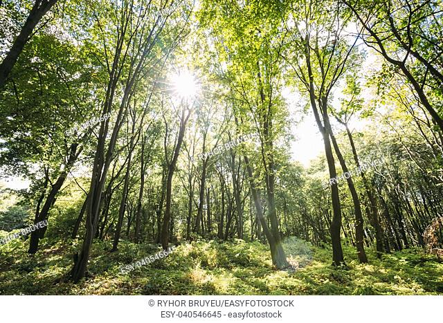 Sun Shining Through Canopy Of Tall Trees. Sunlight In Deciduous Forest, Summer Nature