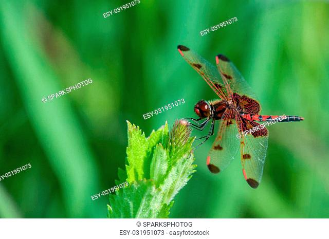 Calico Pennant Dragonfly perched on a plant