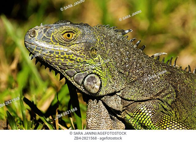 Iguana, Yumka Park, Villahermosa, Tabasco, Mexico, America