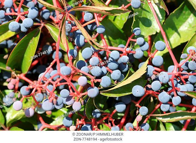 Parthenocissus quinquefolia, Wilder Wein, Virginian creeper