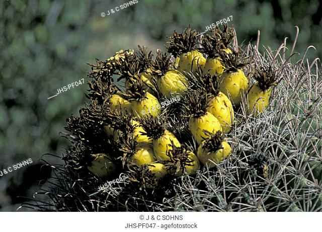 Barrel Cactus , Ferocactus wislizenii , Sonora Desert , Arizona , USA , America , cactus fruit