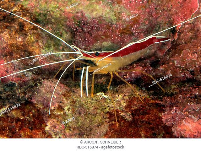 Pacific Cleaner Shrimp / (Lysmata amboinensis) / northern cleaner shrimp