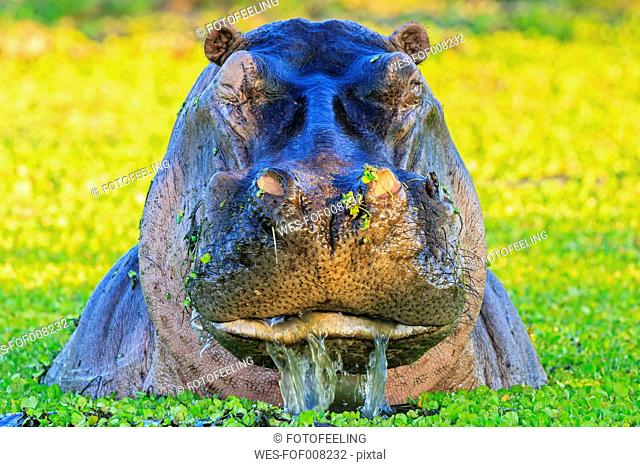 Zimbabwe, Urungwe District, Mana Pools National Park, portrait of a hippopotamus in a lagoon