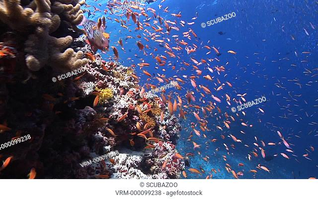 Tracking forward fish swimming over healthy Coral reef, Maldives, Indian Ocean