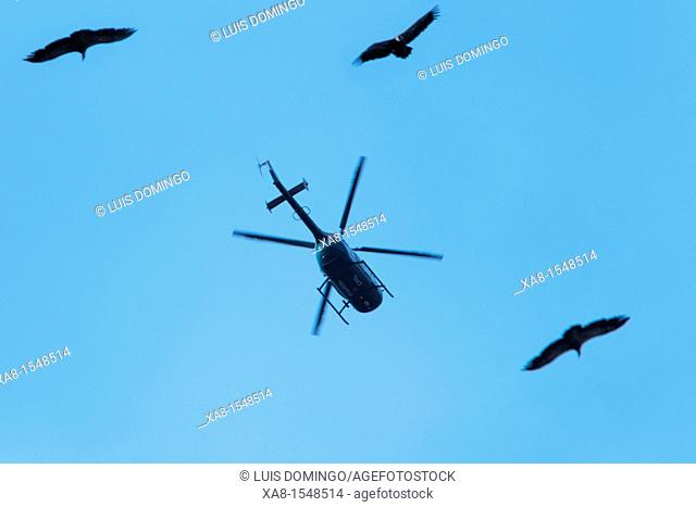 many vultures fly over pyrenees's sky