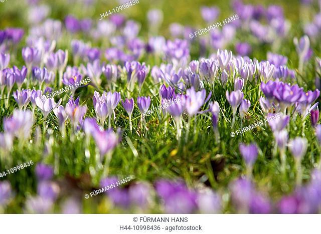 mauve crocus in full blossom, flourish