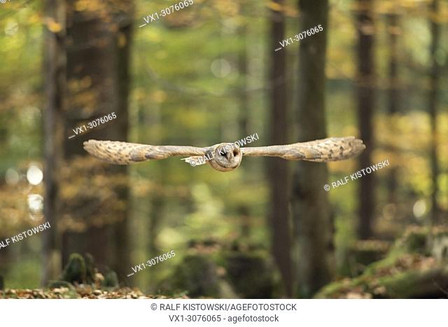 Barn Owl ( Tyto alba ), adult, in gliding flight through an autumnal colored broad-leaved forest, silent hunter, Europe.