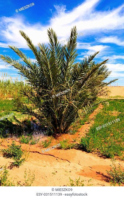 date palms in oasis in Sahara desert, Morocco
