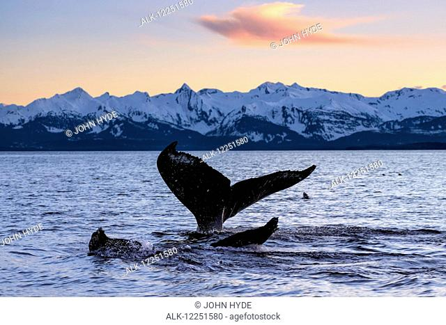 A pair of Humpback Whale tails as they dive beneath the surface, Lynn Canal, Inside Passage, Southeast Alaska