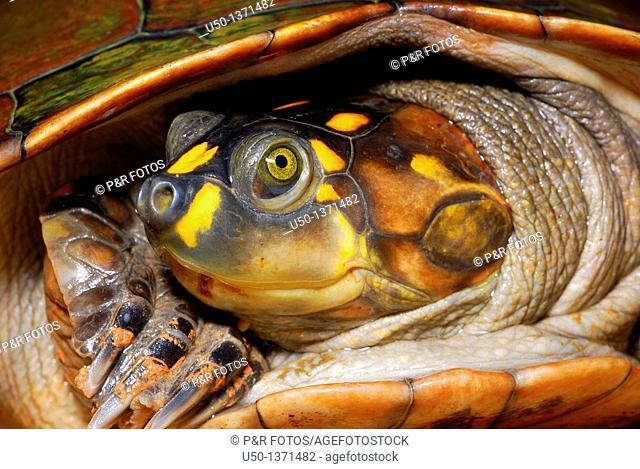 Head of Amazonian turtle  Podocnemis sp , Pelomedusidae, Chelonia, Reptilia bracajá, tracajá, Rio Branco, Acre, Brazil, 2010  75 cm de comprimento