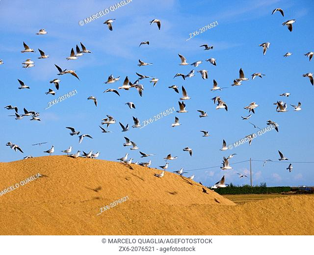 Audouin's seagull (Larus audouinii) flying over rice pile. Ebro River Delta Natural Park, Tarragona province, Catalonia, Spain