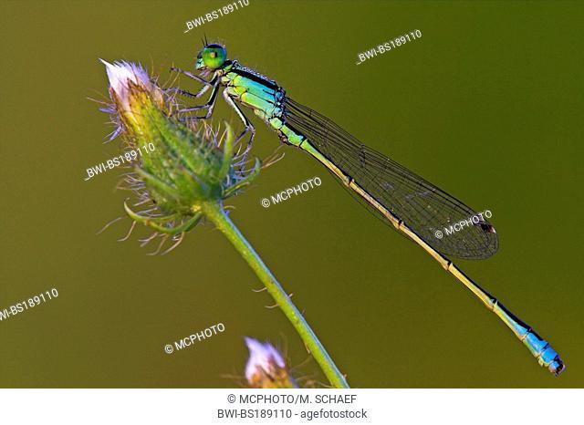 lesser ischnura, scarce blue-tailed damselfly (Ischnura pumilio), on an inflorescense, Germany, Rhineland-Palatinate