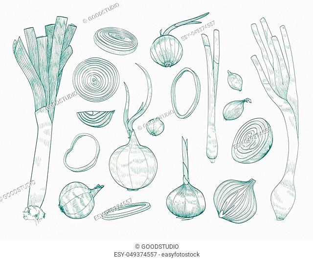 Collection of various whole and cut onions hand drawn with contour lines on white background. Bundle of raw vegetables of different types