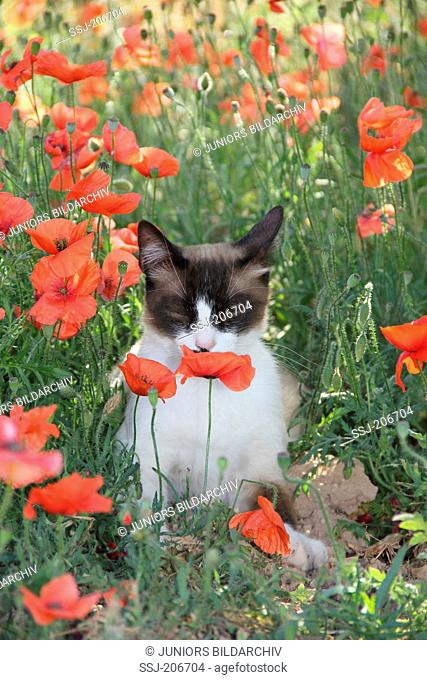 Domestic cat. Adult with a point coloration sitting in a flowering meadow while sniffing at a Poppy flower. Spain